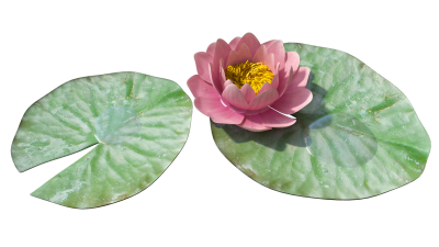 Lily Transparent PNG Images