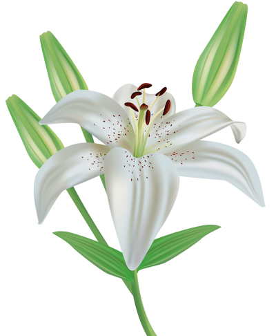 Lilies Images PNG PNG Images