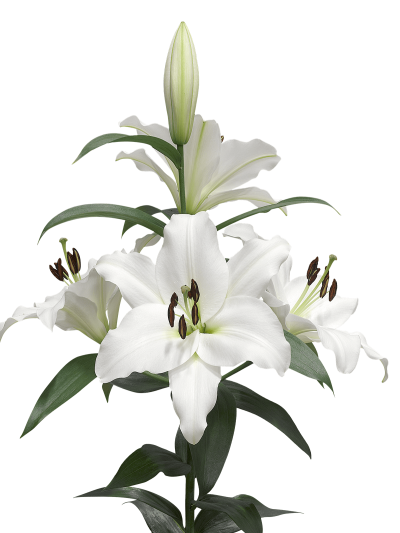 Lilies Background PNG Images