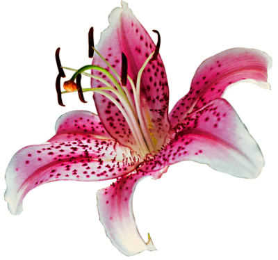 Lily Flower Vector PNG Images