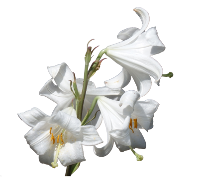White Lily Clipart HD