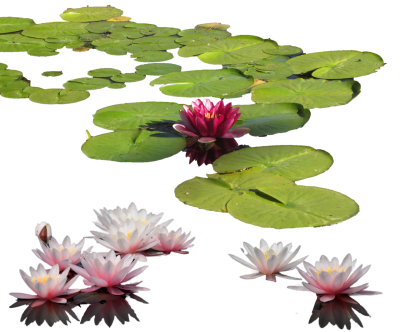 Water Lily Photos PNG Images