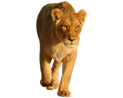 Lion PNG Picture PNG Images