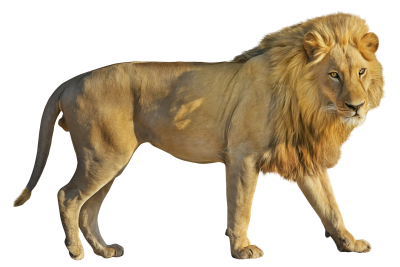 Lion HD Photo Png PNG Images