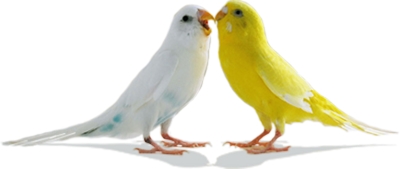 Love Birds Transparent Background 14 PNG Images