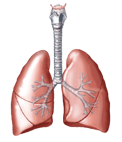 Lungs Drawing Png Image Pictures