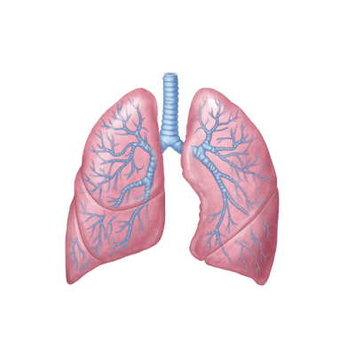 Lungs Drawing Transparent Png