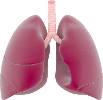 Lungs Png PNG Images