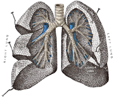 Lungs Png Transparent
