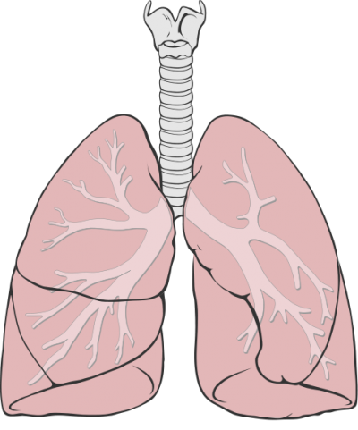 Transfer Systems Lungs Png