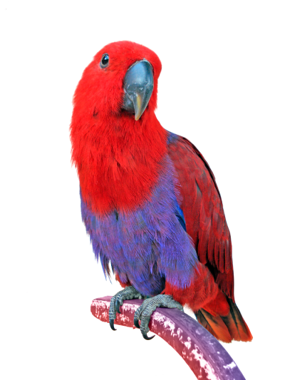 Red Macaw Animal PNG PNG Images