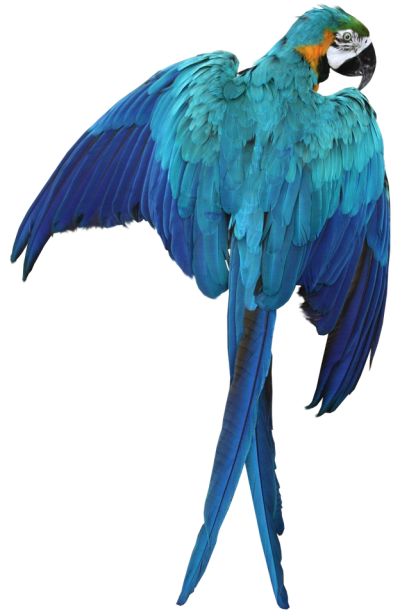 Blue Macaw Transparent Image