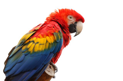 Macaw Transparent Background PNG Images