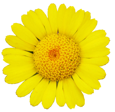 Margarita Daisy Picture PNG Images