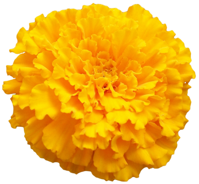 Marigold Vector 5 PNG Images