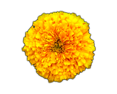Marigold HD Photo Png PNG Images