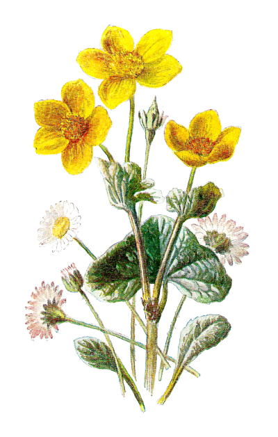 Marigold Clipart PNG Photos PNG Images