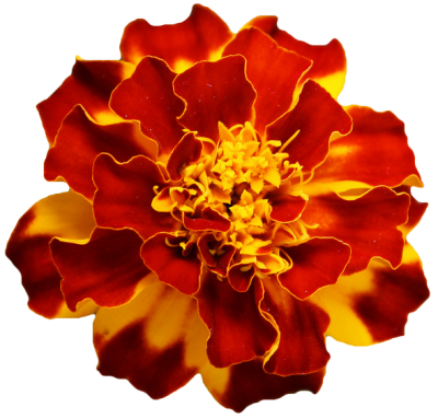 Marigold HD Image PNG Images