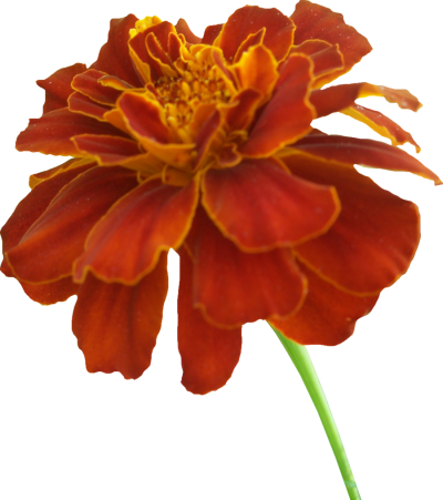 Marigold Vector PNG Images