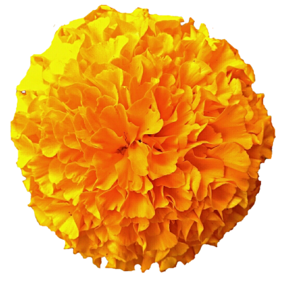 Marigold Free Download PNG Images