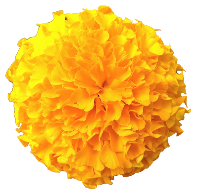 Marigold Amazing Image Download PNG Images
