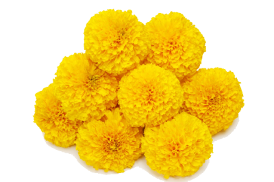 Marigold Clipart Photo PNG Images