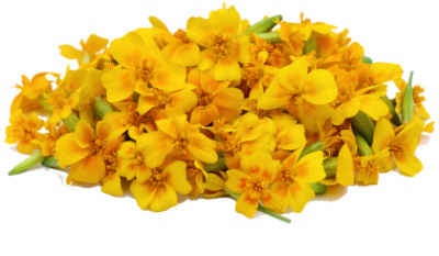 Marigold Clipart HD PNG Images