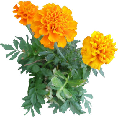 Marigold Png PNG Images