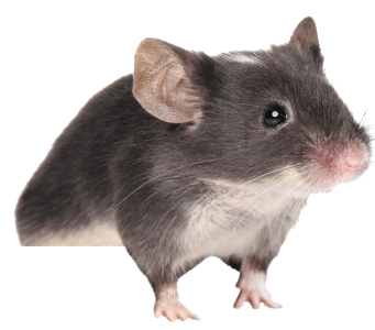 Cute Mouse Pictures Free Download, Animal PNG Images