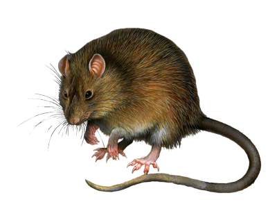 Furry Animal Mouse Hd Free Download PNG Images