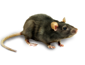 Mouse Clipart Photos, Animal PNG Images