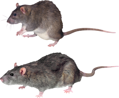 Two Side View Mouse Hd Png Backgrounds PNG Images