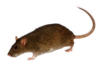 Side View Real Mouse Transparent Hd Download, Animal PNG Images