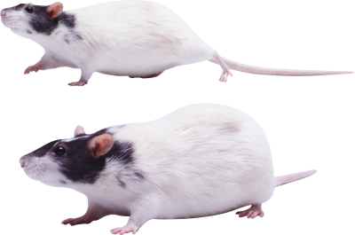 Black Headed White Mouse Background Transparent Download PNG Images