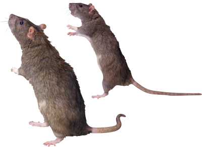 Standing Mouse Photo Background Transparent Download PNG Images