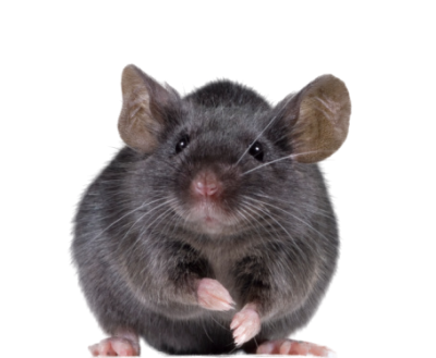 Cute Black Mouse Png Clipart Free Download PNG Images