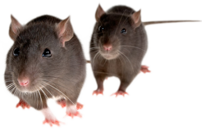 Twin Mouse Photo Clipart Png Download PNG Images