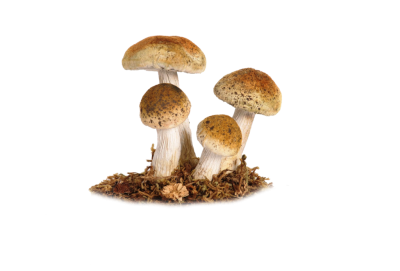 Mushroom High Quality PNG PNG Images