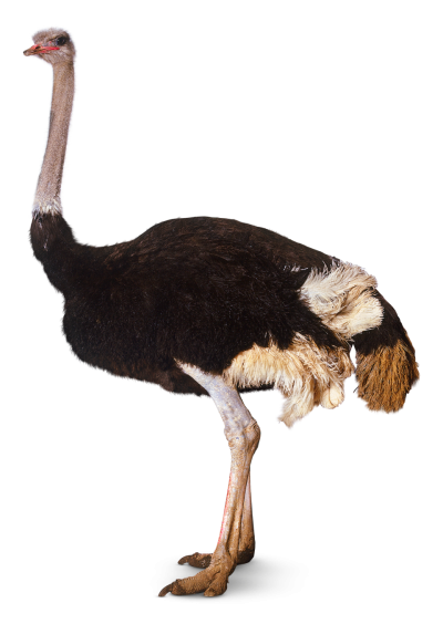 Animals, Earth, Ostrich Png PNG Images