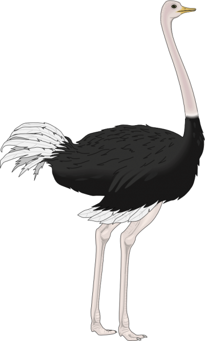 Ostrich Clipart Pic PNG Images