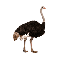 Ostrich Png PNG Images