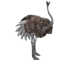 Ostrich Png Photo PNG Images