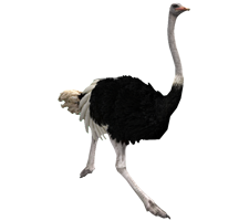 Running Ostrich Png PNG Images