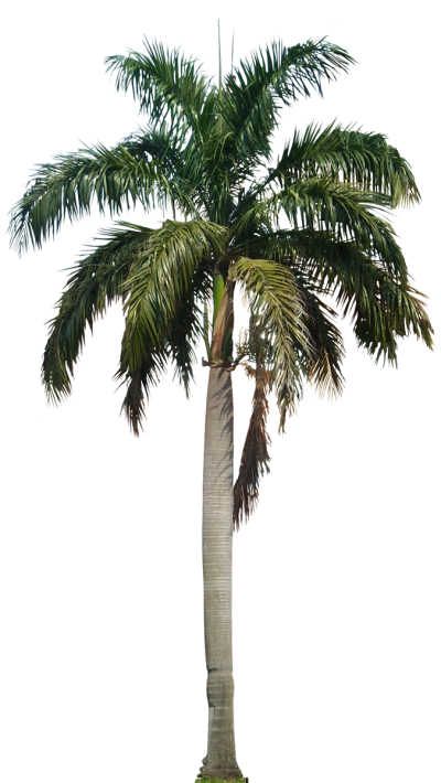 Clipart Palm Tree PNG File