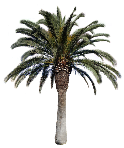 Palm Tree Free Cut Out PNG Images