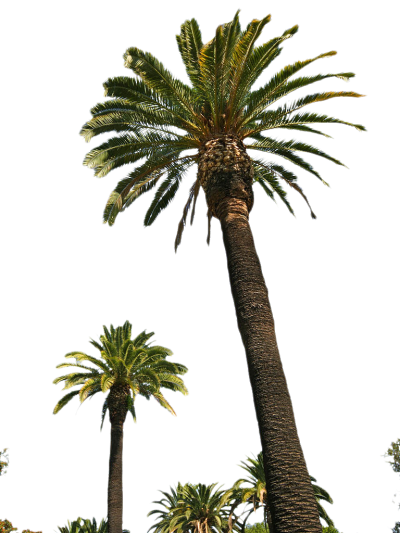 Palm Tree Photos 9 PNG Images