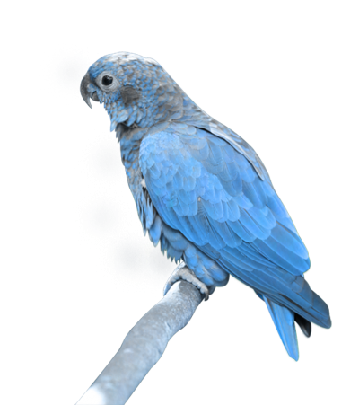 Baby Parrot Transparent Picture