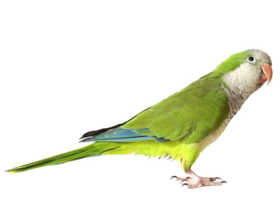 Green Cute Parrot Transparent PNG Images