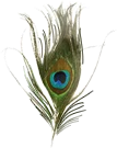 Ho Florists Peacock Feather icon Png PNG Images