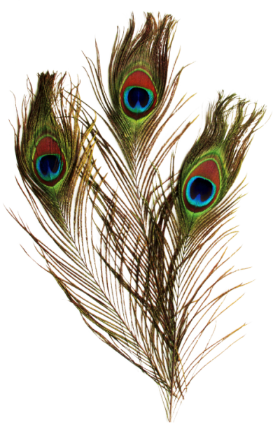 Peacock Feather Pictures